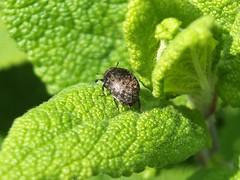 Pill Beetle - Cytilus sericeus
