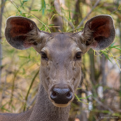 Sambar Deer (Rusa unicolor) - Tadoba Andhari Tiger Reserve