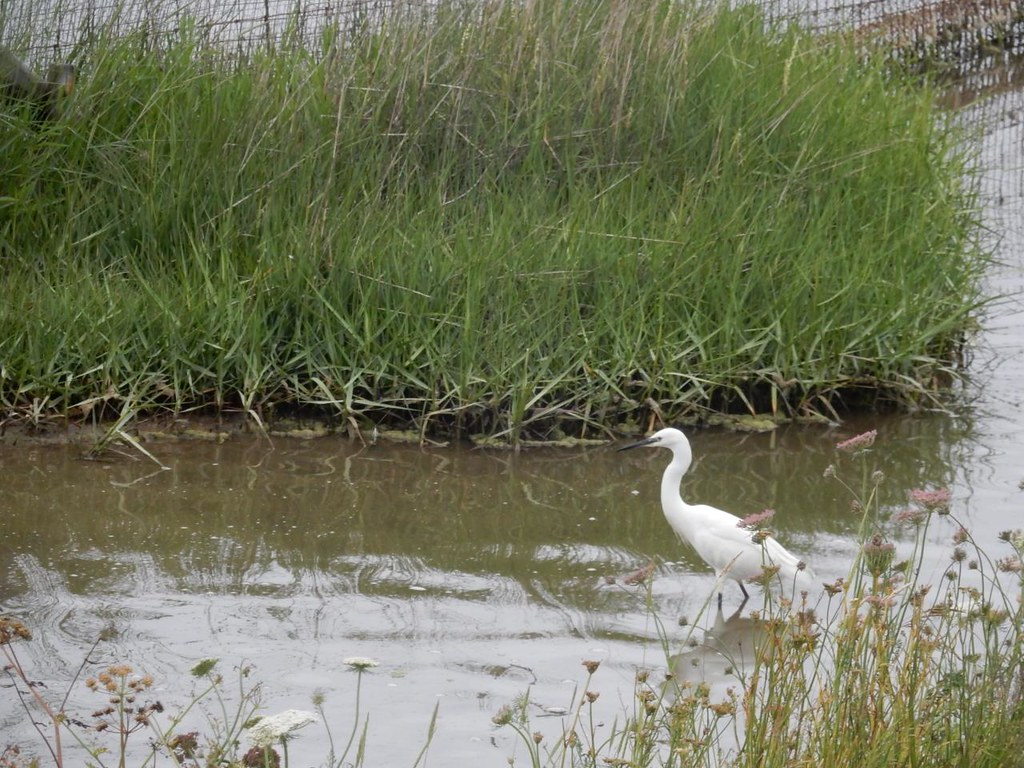 Yes, yes egrets Brockenhurst to Lymington