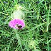 A #bee enjoys a #thistle in #Parkdale in #Toronto