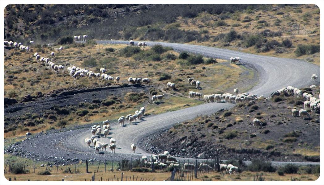 torres del paine sheep
