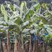 Bananeraie sur la route de Tortuguero.