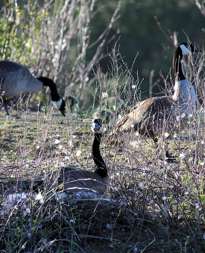 canadageese11