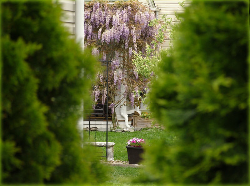 ~ wisteria on the back porch...