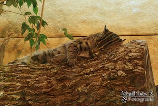 Schlafende Fischkatze