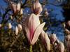 Our Magnolia flowering
