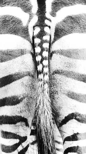 Zebra #1 schwarzweiß by 2ndlanguage