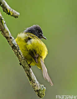 Grey-headed Flycatcher (Culicicapa ceylonensis)