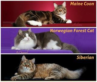 Big Cat Comparrison