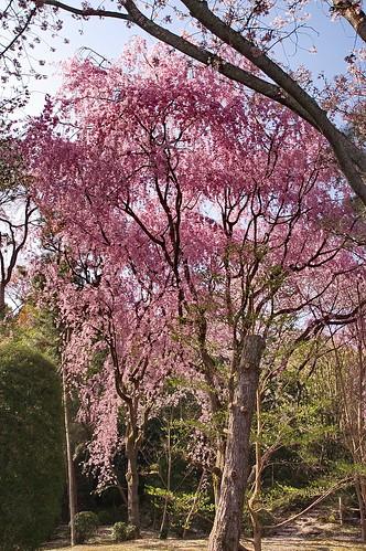 【写真】2013 桜 : 龍安寺/2020-01-22/IMGP9839