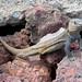 Lagarto Gigante de Gran Canaria