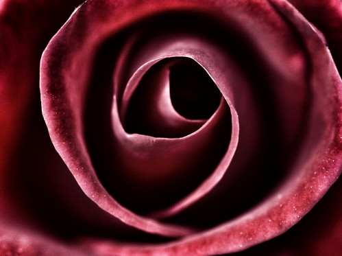The Eye of a Rose