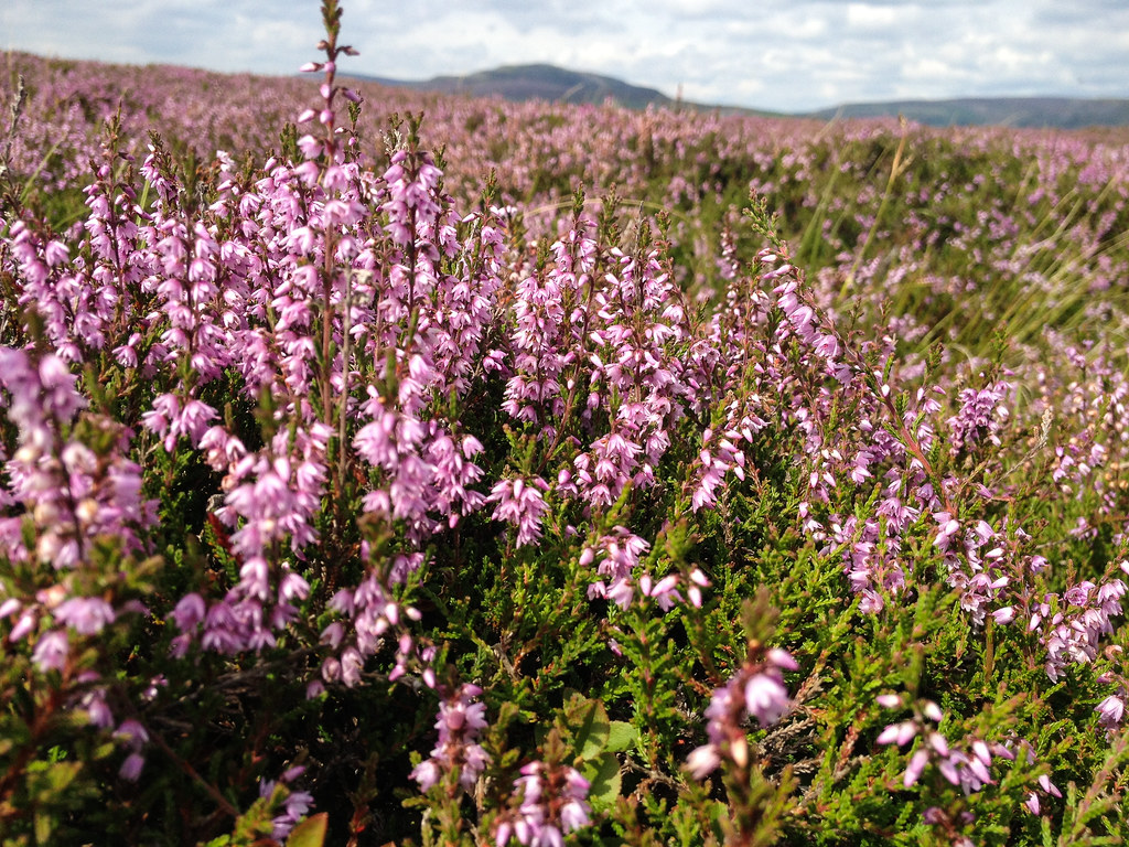 Heather and Grouse Moor