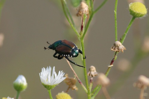 IMG_0951_Japanese_Beetle_on_Daisy_Fleabane