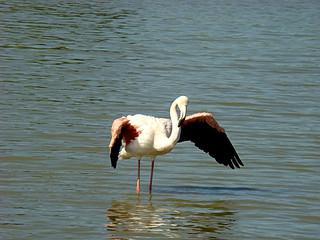 161 flamingo's