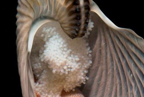 圖04、成串黏附在體殼背面的扁船蛸卵串。(圖片拍攝:李坤瑄)