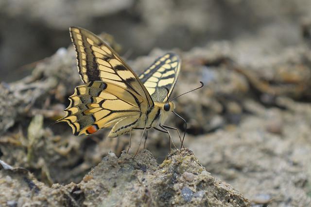 Scare Swallowtail