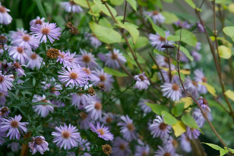 aster  3656