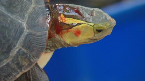 保育龜因人類捕捉受傷流血。