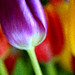 Tulips abstract by Jak5Bale