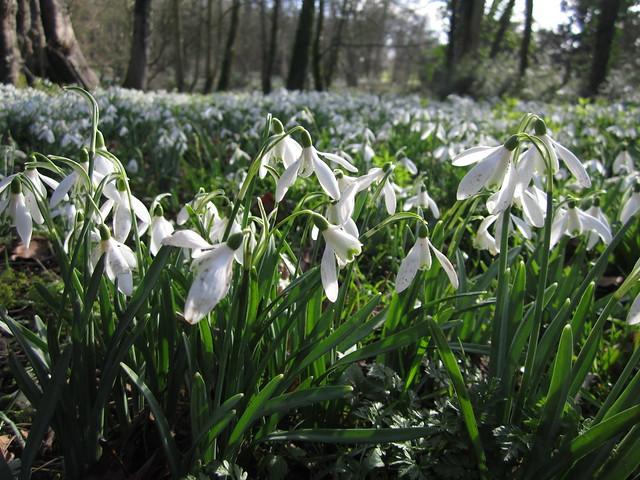 snowdrop walk Walsingham Feb 2014 (9)