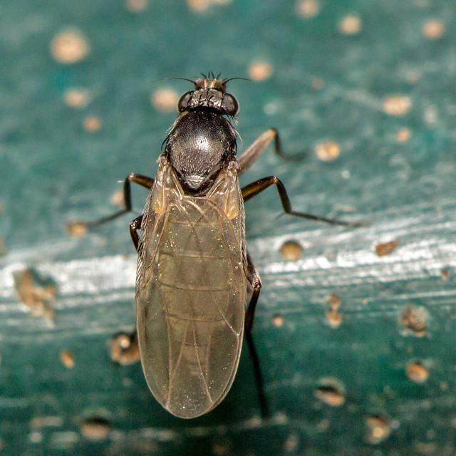 Header of Phoridae
