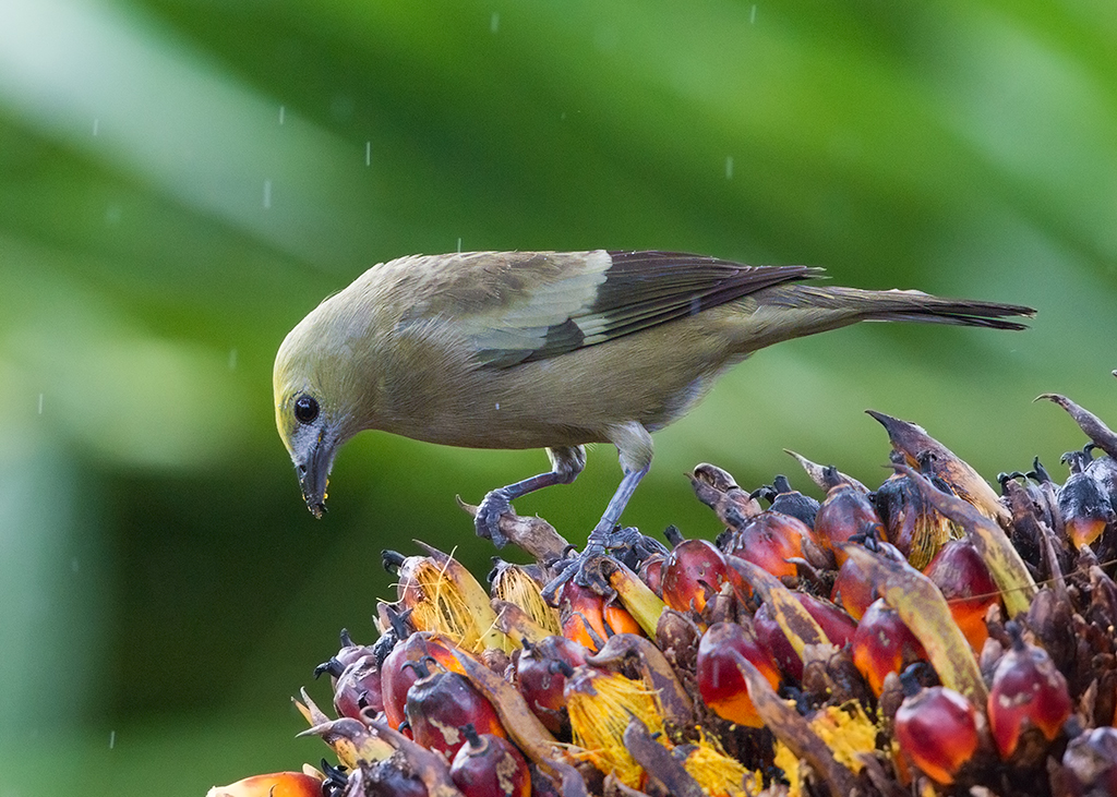 Palm Tanager 2014-01-30