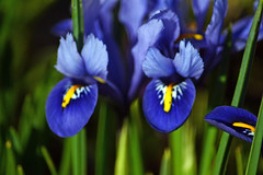 iris(0.0), eye(0.0), iris(1.0), flower(1.0), iris versicolor(1.0), plant(1.0), macro photography(1.0), wildflower(1.0), flora(1.0), plant stem(1.0), blue(1.0),