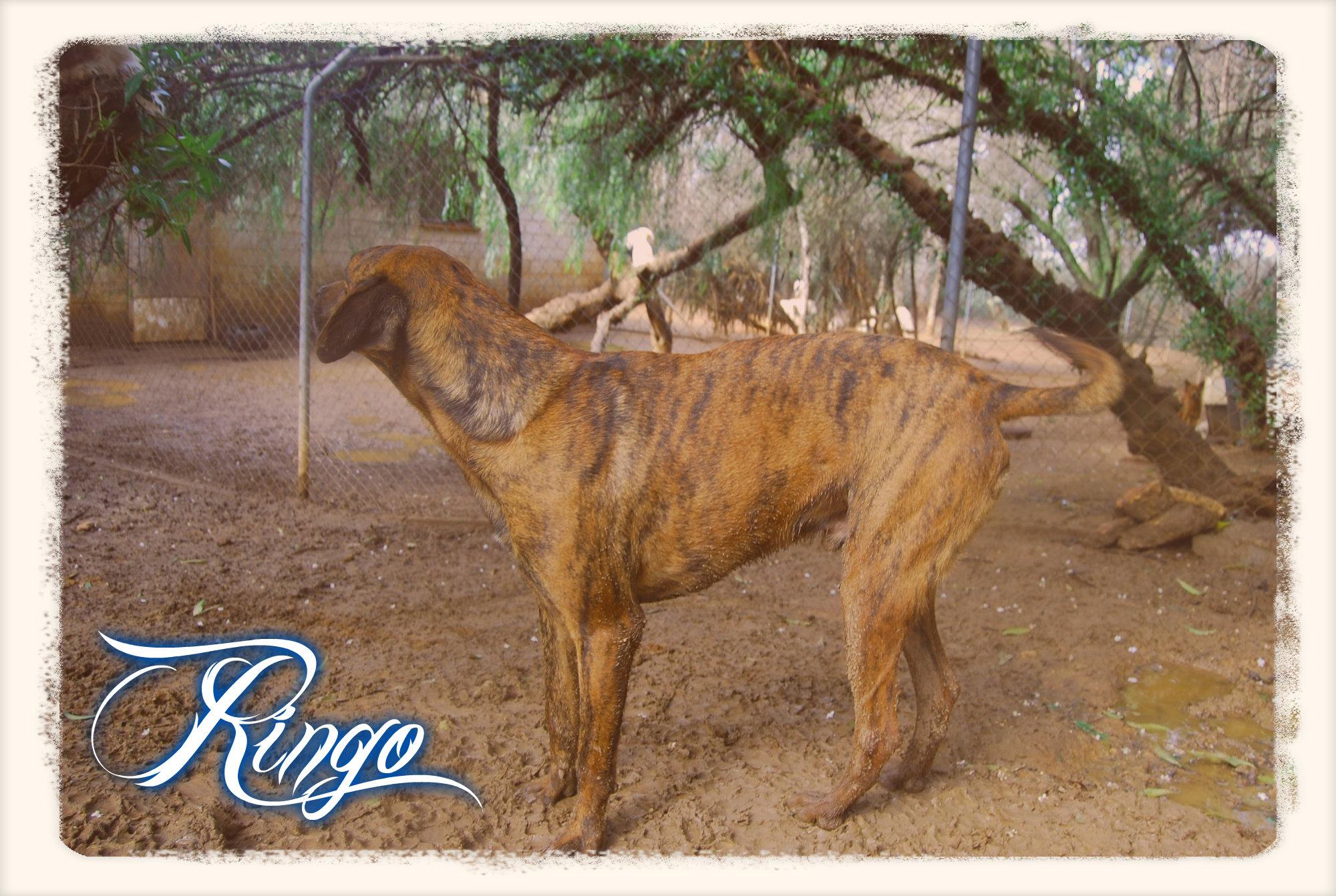 Ringo 5
