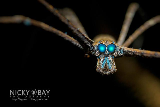 Ogre-Face Spider (Deinopis sp.) - DSC_8272
