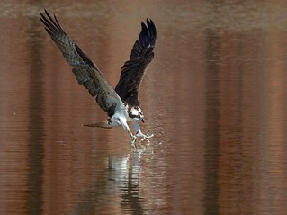 Osprey Catching Fish (2)
