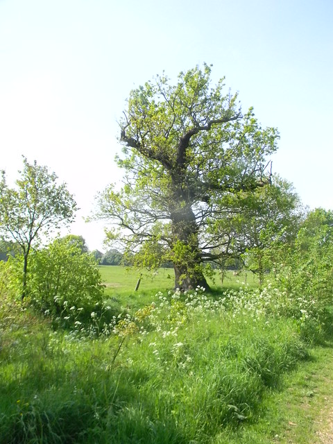 Tree with cow parsley