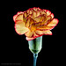 26/100 - Colourful Carnation by *ian*