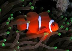 anemone fish, fish, marine biology, green,