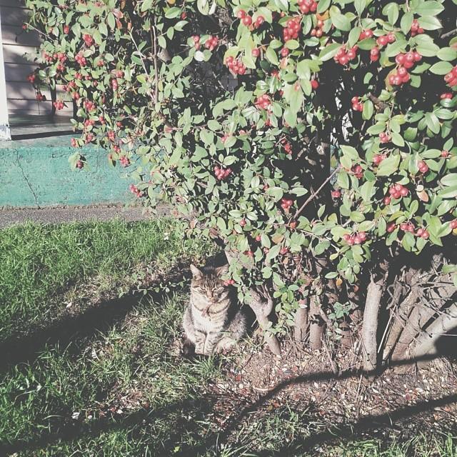 Grumpy #catsofinvermay #catsinmyneighbourhood I name this one Gordon