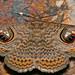 Wavy Owl Moth (Calliodes pretiosissima) by berniedup