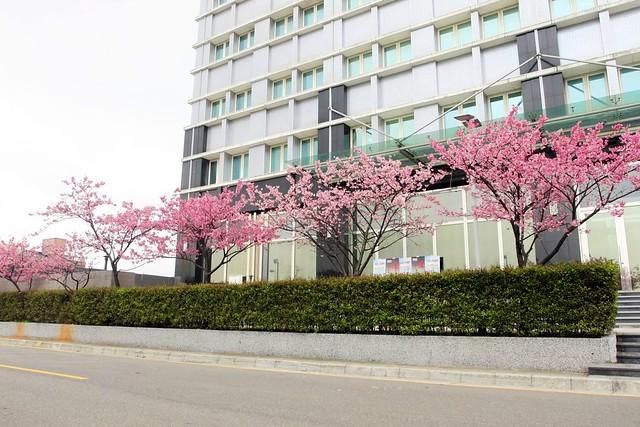 2015 01 31 桃園.龜山.華亞科技園區.禾聯碩科技.寒櫻(100%)