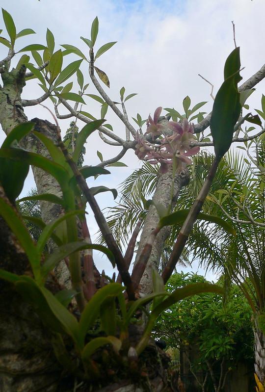 Dendrobium sp. et autres orchidées [id. non terminée] 16205531859_ca544accf4_c