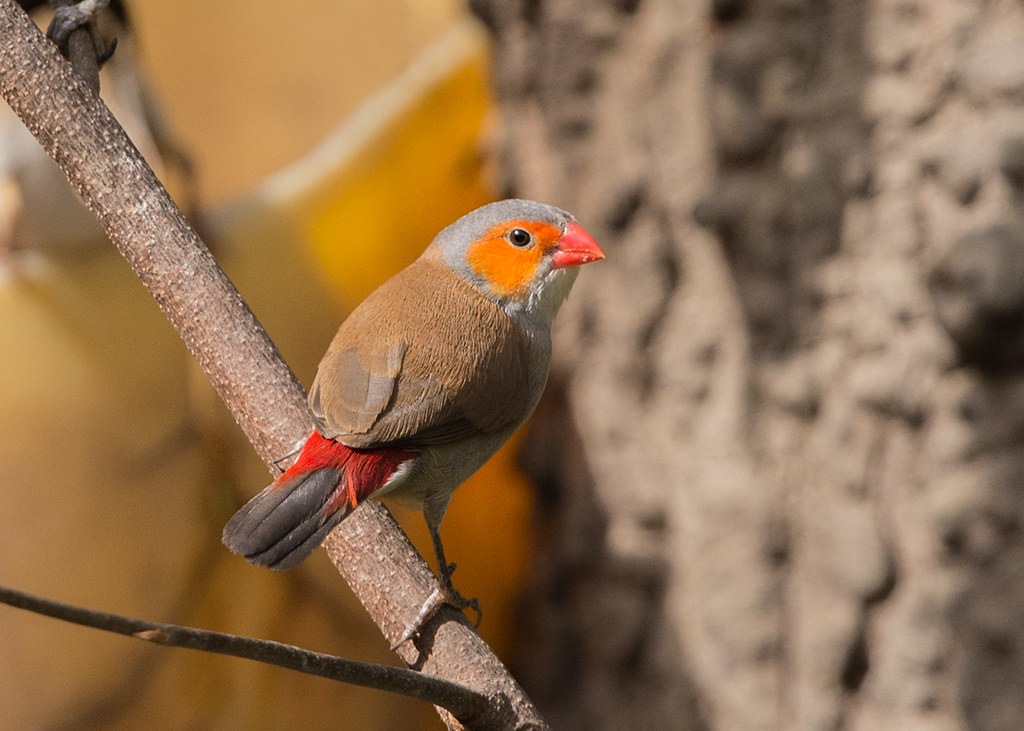 Orange-cheeked Waxbill   Gambia