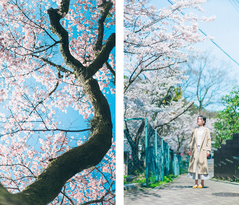 3.Roaming Under The Cherry Blossoms.