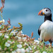 Atlantic Puffin by parry101