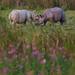 Playfighting Rhino calfs.