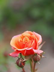 Rose, Pollux, バラ, ポルックス,