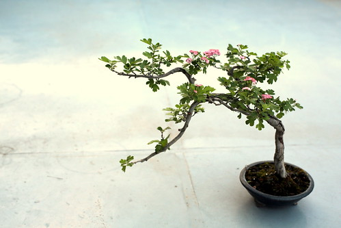Bonsai may (sanzashi)