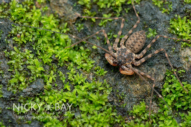 Taillless Whip Scorpion (Amblypygi) - DSC_2701