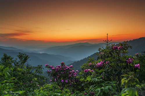 Rhododendron on the Blue Ridge Parkway Explored 6/16/13