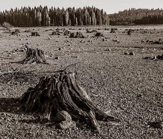 Trees and Stumps Black and White
