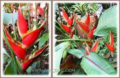 Heliconia stricta 'Sharonii' at our inner plot