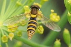 pollinator 012