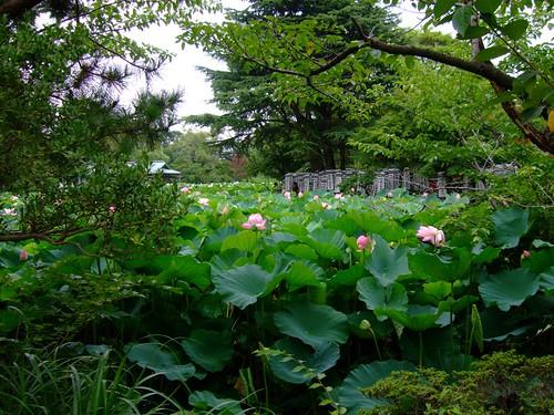 Lily Garden in Kamakura
